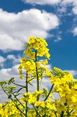 picture of margarine  - A canola blossoms in a rapeseed field - JPG