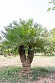 foto of plant species  - an endangered species of plant called Cycad  - JPG