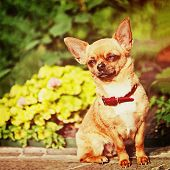 foto of granite  - Red chihuahua dog siting on granite pedestal with retro filter effect - JPG