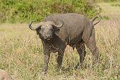 foto of cape buffalo  - Cape Buffalo in the Veldt in Queen Elizabeth National Park in Uganda - JPG
