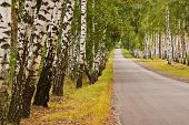 picture of birchwood  - straight road through the trees in a birchwood - JPG