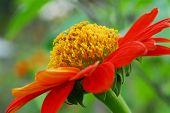 image of zinnias  - A Red Zinnia  flower in the garden - JPG