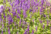 foto of purple sage  - Meadow with blooming Blue Salvia herbal flowers - JPG