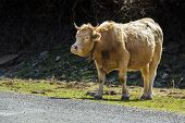stock photo of tame  - Brown tame bull pacing towards a pathway with text space - JPG