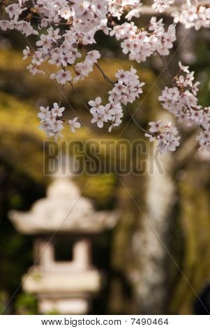 Cherry Blossoms With Japanese Stone Lantern In The Background