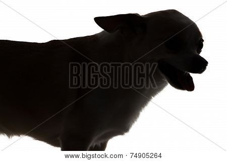 Photo Of Chihuahua With Open Mouth - Silhouette