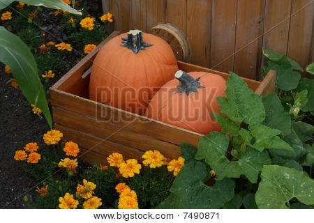 Two Pumpkins In A Barrel