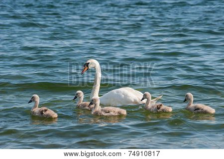 mother swan swimming with baby chicks