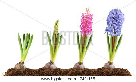 Pink And Blue Hyacinth Blooming