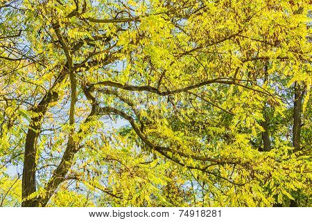 Branches Of The Locust With Autumn Foliage