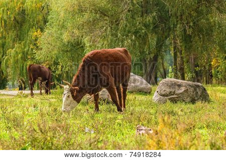 Cows Grazing  In The Autumn Forest