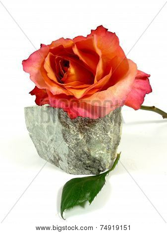 orange rose on a stone