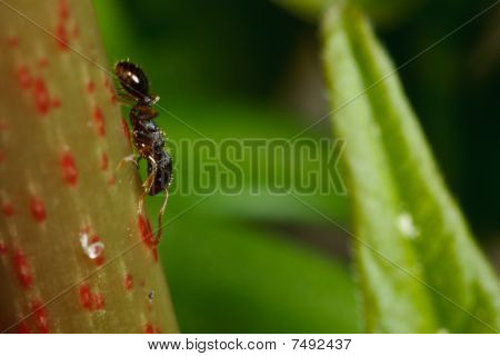 Pavement Ant On Sumac