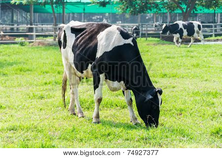 Dairy Cow In Farm Cows Grazing In Fresh Pastures