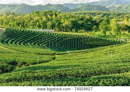 Tea Plantation Chiang Rai, Thailand