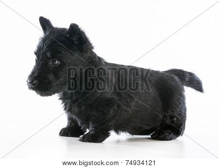 scottish terrier puppy standing on white background - 6 weeks old