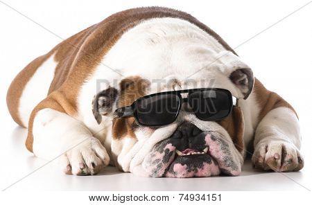 dog wearing sunglasses on white background - english bulldog