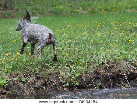 german shorthaired pointer shaking water off after swim in the river