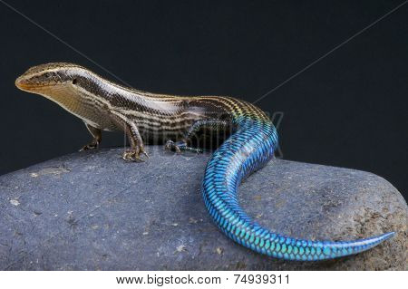 Blue-tailed skink / Chalcides sexlineatus
