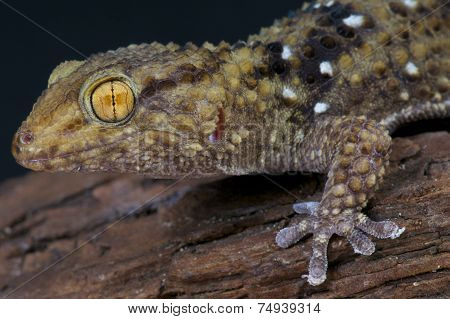 Thick toed gecko / Chondrodactylus turneri