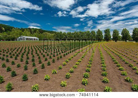 Flower Field Under Cloud Sky, Furano, Hokkaido