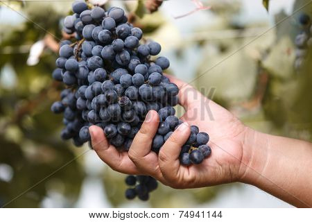 Wine Grape Quality Control By Hand In Vineyard