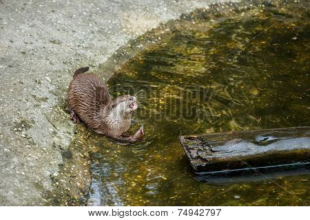 Hungry Otter Eating