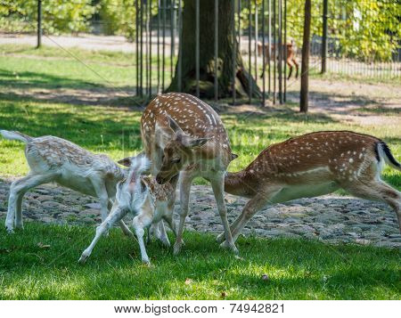 Multiple Young Deer Drinking