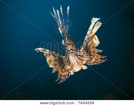 Lionfish Closeup Picture