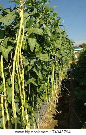 Convert Green Long Beans Fresh