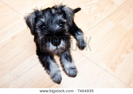 Puppy Minischnauzer On The Floor