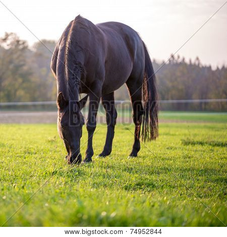 Horse Grazing In A Lush Green Meadow