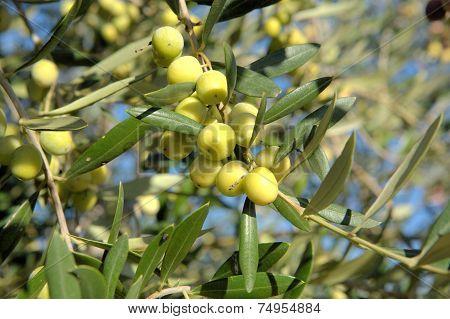 Green Unripe Olives