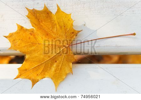 One Yellow Maple Leaf On Bench
