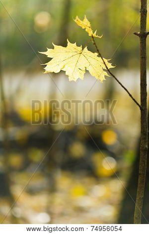 Yellow Maple Leaf On Twig