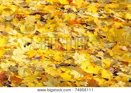 Yellow Maple Leaf Litter In Sunny Autumn