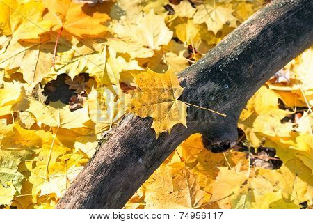 Dried Trunk And Yellow Maple Leaf Litter Close Up