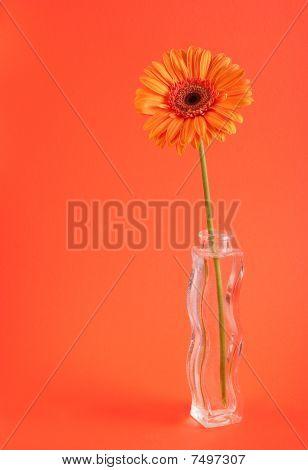Orange Herbera In Vase