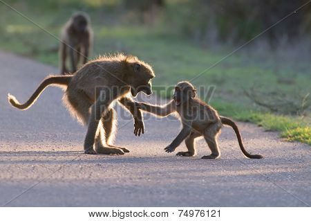 Young Baboons Playing In A Road Late Afternoon Before Going Back To Tree