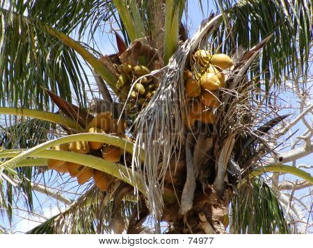 Old Coconut Tree