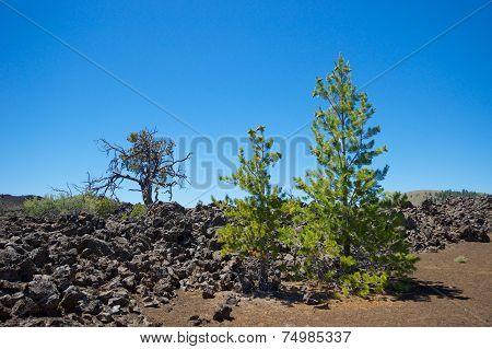 Trees Grow In Lava Fields