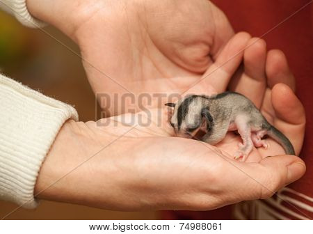Helpless Sugar Glider Cub  Lays On Woman Hand