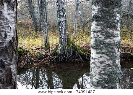 Birch Trees By Small Stream