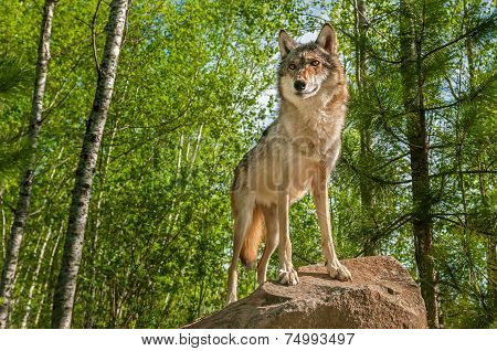 Grey Wolf (canis Lupus) Alert Atop Rock