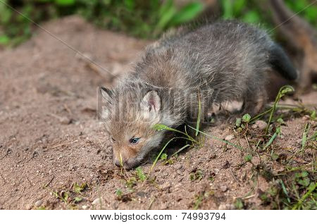 Red Fox Kit (vulpes Vulpes) Sniffs Ground Outside Den