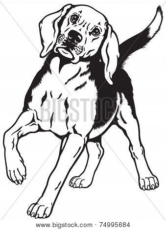 beagle hound black white