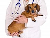 pic of wiener dog  - Shot of a dachshund wiener dog in a vet - JPG