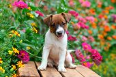 stock photo of spotted dog  - An adorable Jack Russel puppy sits on a wooden crate among some beautiful colorful flowers - JPG