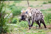 stock photo of hyenas  - a hyena walking away from me in the wilderness - JPG