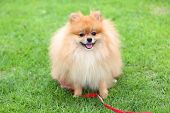 picture of grooming  - cute pet pomeranian grooming dog sitting on green grass at home garden - JPG